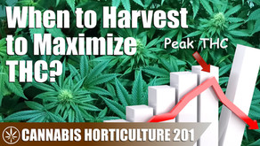 When Should You Harvest Your Plants? (A Look at Flower THC Production Week by Week)