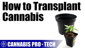 Transplanting Cannabis from Solid and Fabric Pots