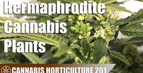 What Are Hermaphrodite Cannabis Plants?