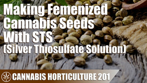 How to Produce Femenized Cannabis Seeds With Silver Thiosulfate Solution (STS)