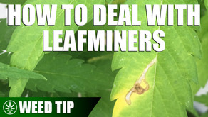 Removing Leaf Miners From Your Cannabis Plants