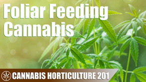 When and How to Foliar Feed a Cannabis Plant