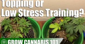 Comparing a Topped Plant with a Low Stress Trained Plant