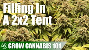 Filling Out a 2x2 Tent With One Cannabis Plant