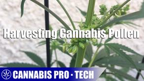 Cannabis Pro・Tech: Harvesting Cannabis Pollen