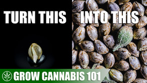 Making Femenized Seeds with One Cannabis Plant