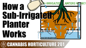 Using a Sub-Irrigated Planter for Cannabis
