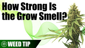 How Much Does Cannabis Smell While Growing?