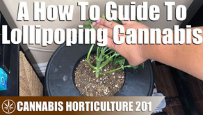 How Lollipoping A Cannabis Plant Works