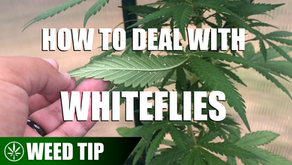 Weed Tip: How To Deal With Whiteflies