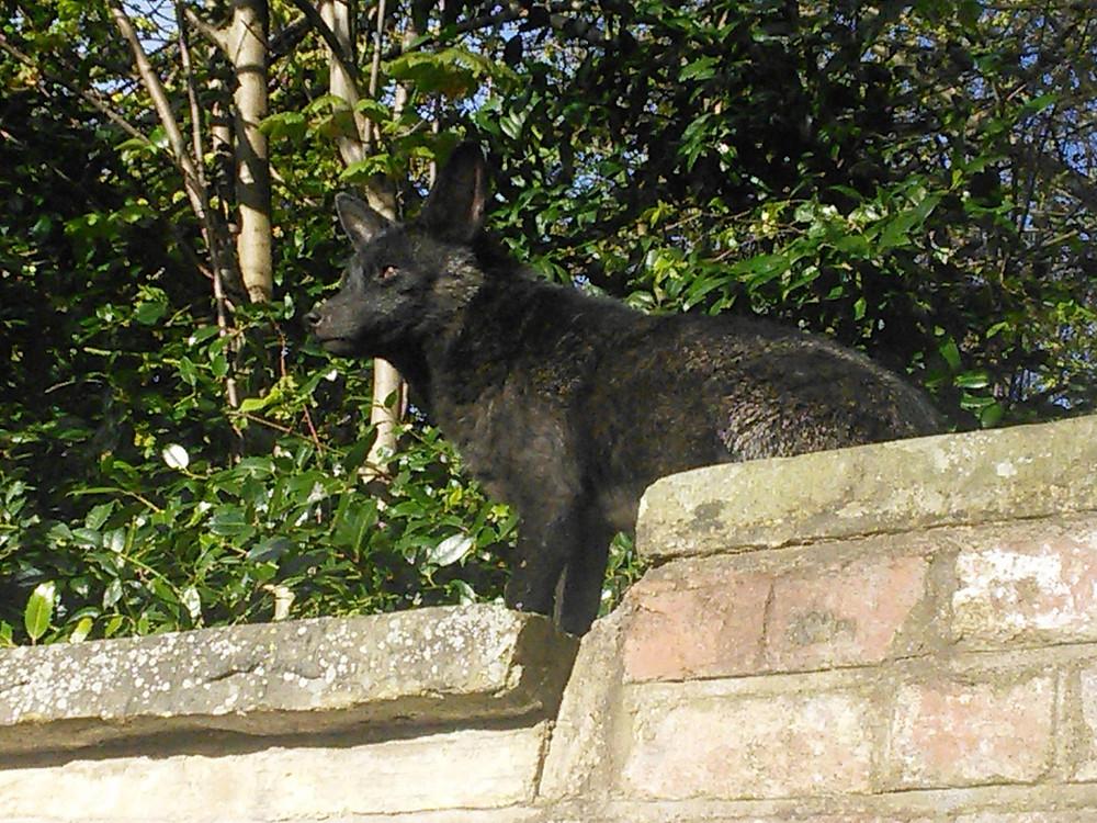 rare black fox London