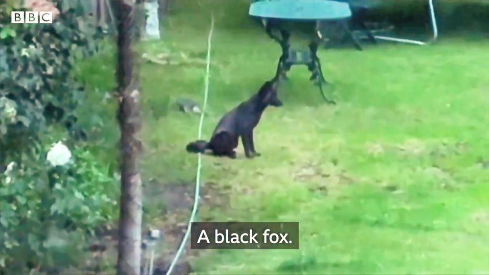 rare black fox