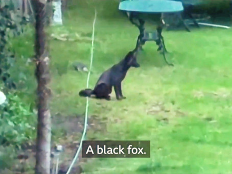 Black fox now spotted in London!