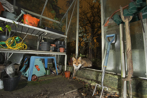 Red fox in garden shed