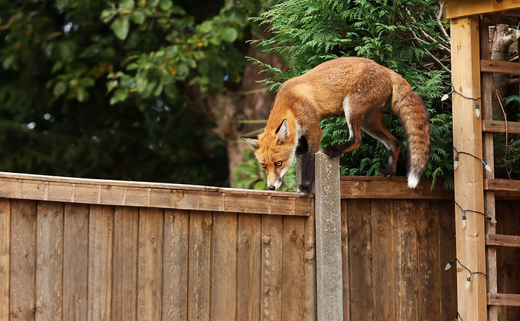 Close up of a Red fox on a wooden fence,