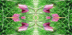 Mandala mit Schachbrettblume