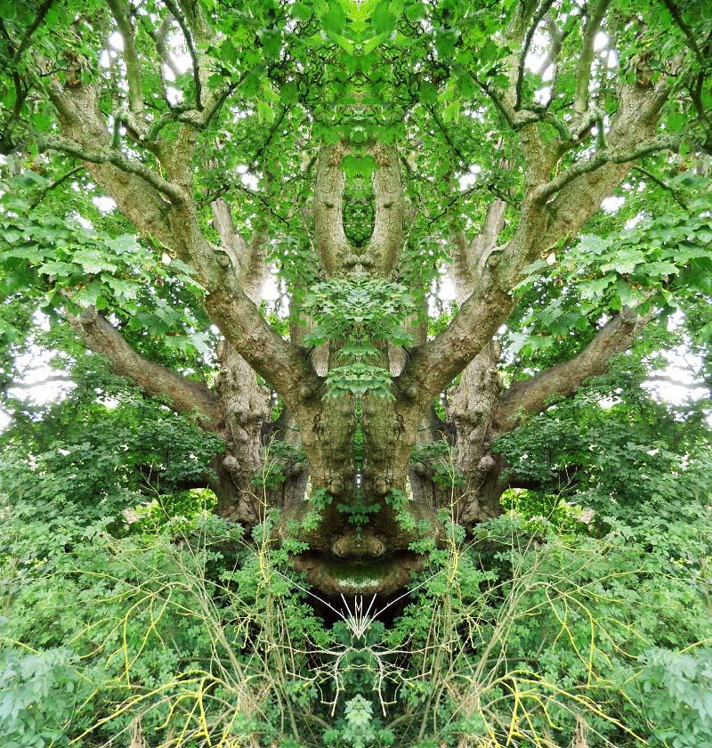 Old wise tree of Lallybroch