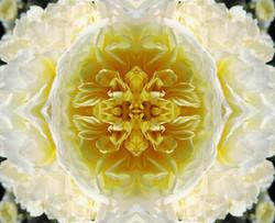 Herzöffnung gelbe Rose
