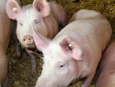 The Myth of Humane Meat