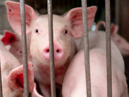 Why We Should be Vegan for the Animals