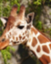 giraffe-Alexas-Photos-400x258.jpg