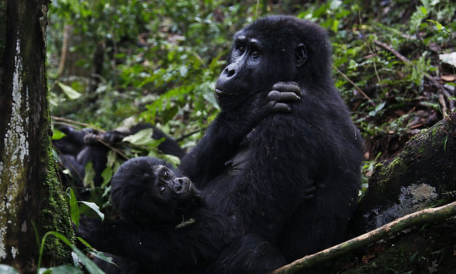 Conservation in Crisis Why Covid-19 Could Push Mountain Gorillas Back to the Brink