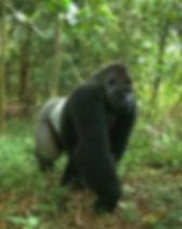 Gorilla_edited.jpg