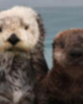 southern sea otter.jpg