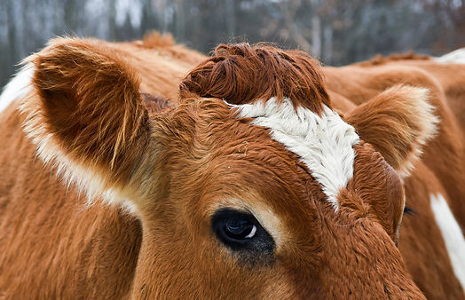 Cow Corona.jpg