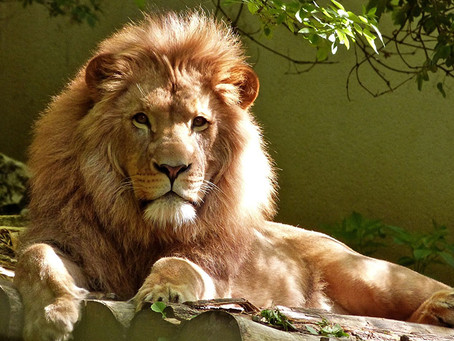 How to conserve lions
