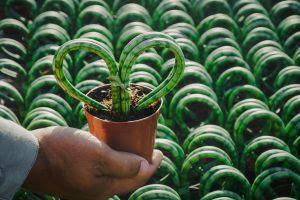 Flores e plantas na forma de coração ajudam namorados a declarar seu amor