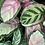 Thumbnail: קלתאות, מינים שונים