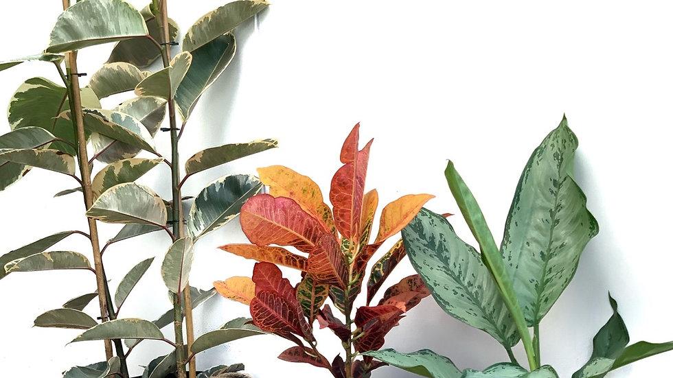 סל קש, פלוטוס, צבע שחור עם צמח לבחירה