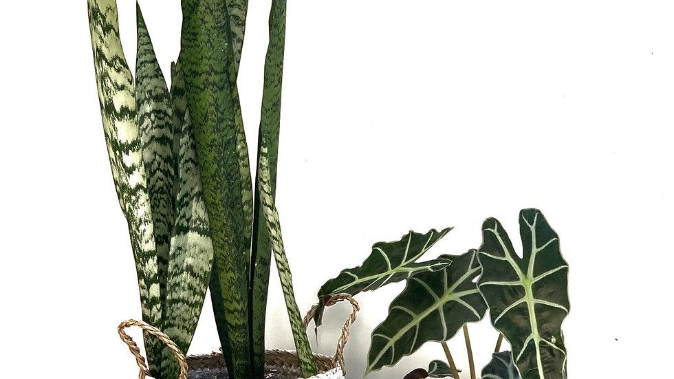 סל פלוטו, דוגמת פסים עם צמח לבחירה