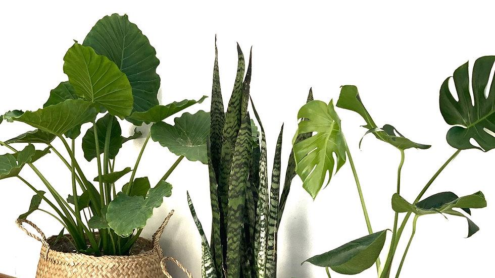 סל קש טיבעי, פלוטו עם צמח לבחירה