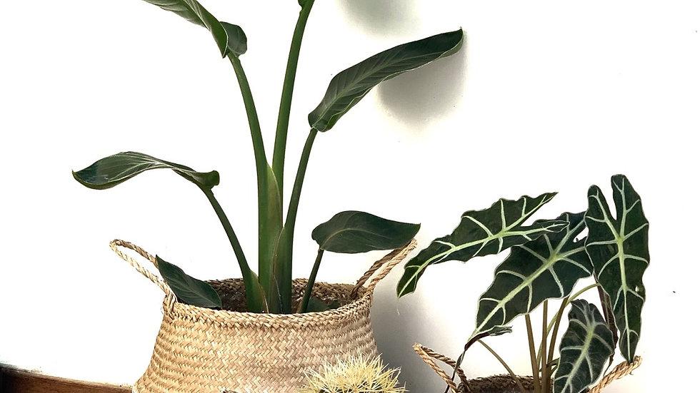סל קש פלוטו, משולב לבן עם צמח לבחירה