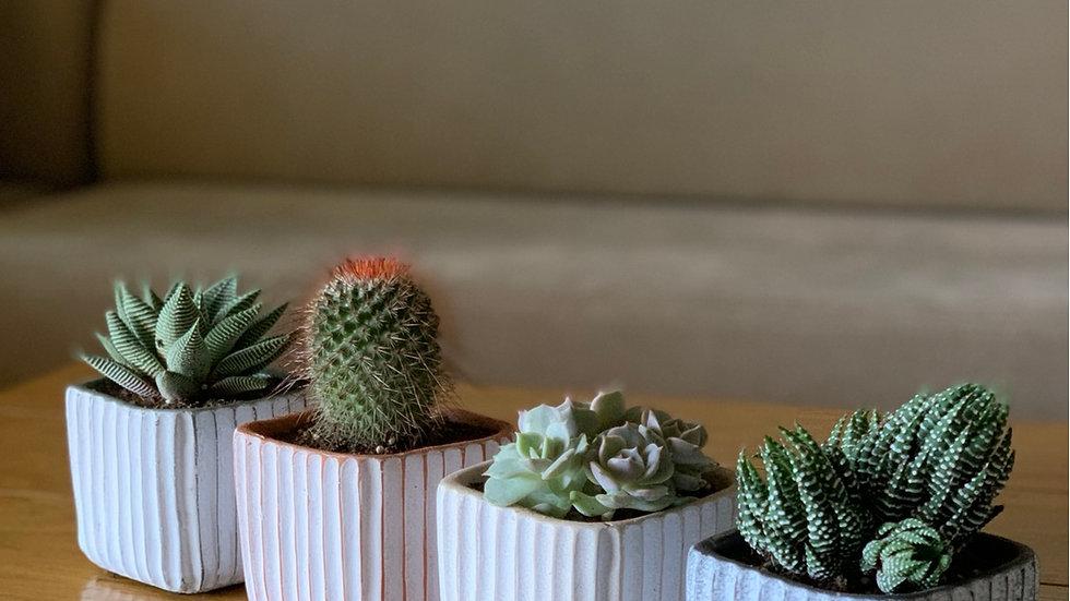 ריבועי בטון, 4 צבעים עם צמח לבחירה.