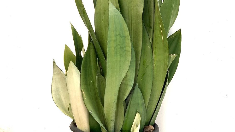 סנסווירה, אפורה (ירוק בהיר)