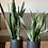 Thumbnail: עציץ מוזה L, עם צמח לבחירה