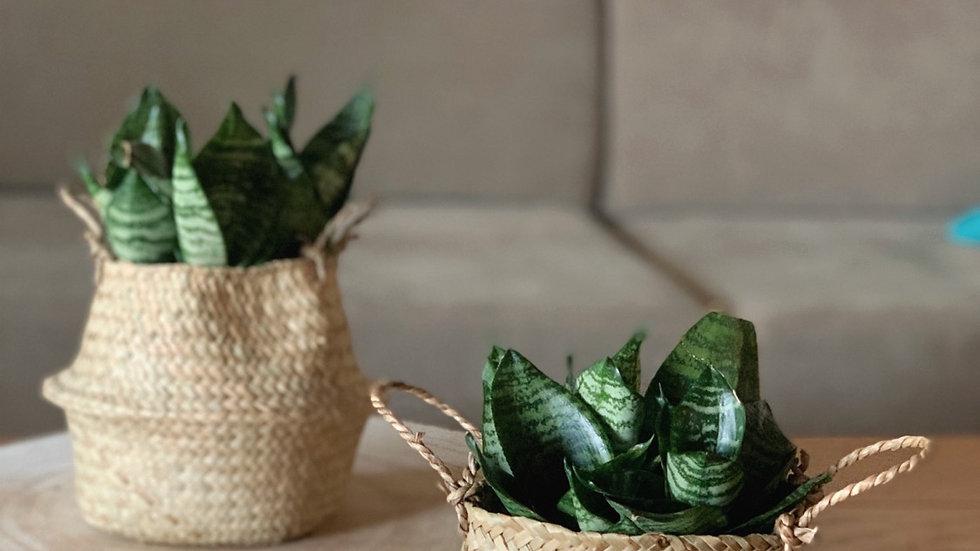 סל קש פלוטו, מיני עם צמח לבחירה
