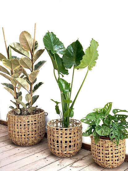 סלי קש, זאוס עם צמח לבחירה