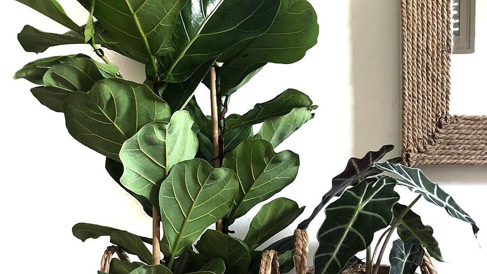סל קש אטלס, עם צמח לבחירה