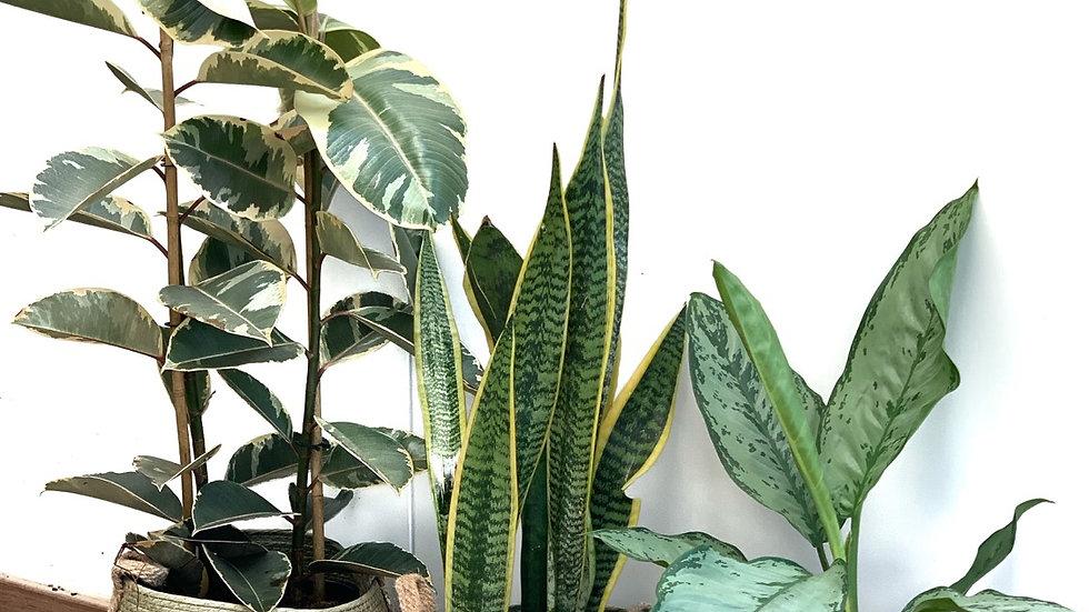סל קש, פלוטוס, צבע ירוק זית עם צמח לבחירה
