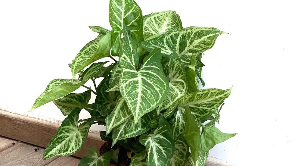סינגוניום פיקסי, צמח נוי לבית/משרד