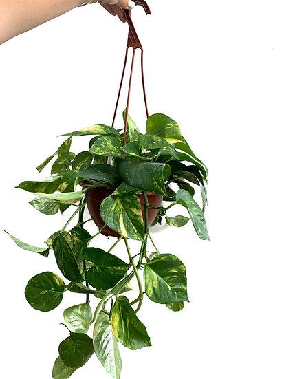 פוטוס, צמח נשפך