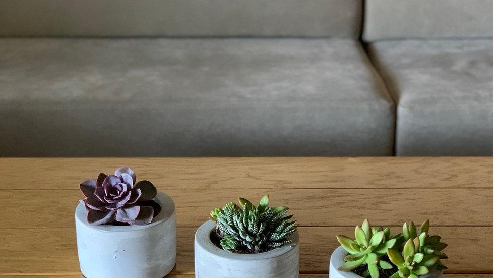 עציץ בטון עגול רחב, עם צמח לבחירה