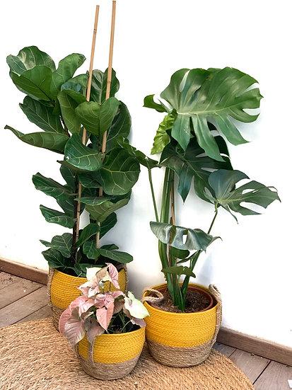 סל קש, פלוטוס, צבע חרדל עם צמח לבחירה