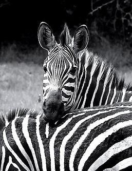 Zebra_blackwhite_Nordquist_edited.jpg