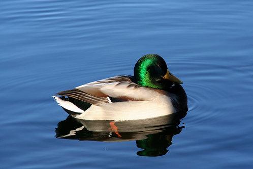 """""""Swimming in Blue Water"""" (happy duck in Täby)"""