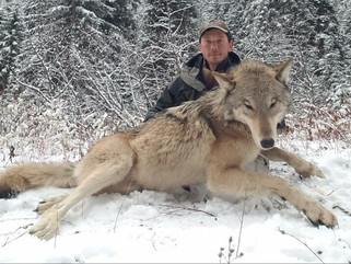 Охотникам разрешили массово убивать волков.